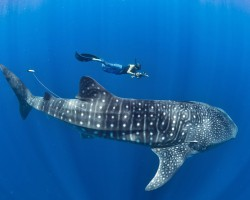 Book Whale Shark Tour In Cancun